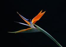 Pássaro da flor de paraíso Imagem de Stock Royalty Free