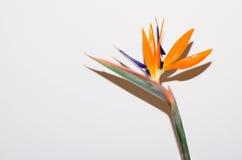 Pássaro da flor de paraíso Foto de Stock Royalty Free