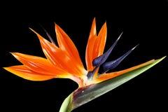 Pássaro da flor de paraíso Foto de Stock