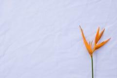 Pássaro da flor de paraíso na tela branca Foto de Stock Royalty Free