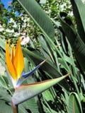 Pássaro da flor do Strelitzia do paraíso imagens de stock