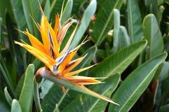 Pássaro da flor dos paradis Foto de Stock