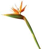 Pássaro da flor exótica do paraíso no fundo branco Fotos de Stock Royalty Free