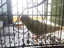 Pássaro da gaiola em sua gaiola imagem de stock