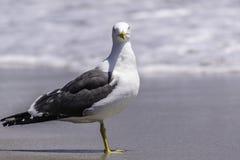 Pássaro da gaivota de arenques Fotos de Stock Royalty Free