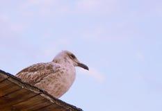 Pássaro da gaivota de mar do céu Foto de Stock