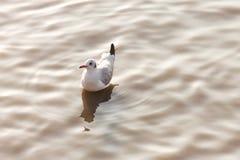 Pássaro da gaivota que flutua na superfície rippled da água no mar com luz do por do sol nas horas de verão conceito animal e nat fotografia de stock royalty free