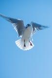Pássaro da gaivota que paira Imagem de Stock Royalty Free