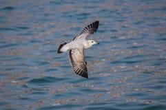 Pássaro da gaivota que voa sobre o mar Imagens de Stock Royalty Free