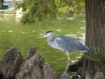 Pássaro da garça-real Imagens de Stock
