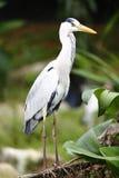 Pássaro da garça-real imagem de stock