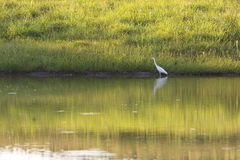 Pássaro da garça-real Fotografia de Stock
