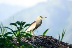 Pássaro da garça-real Foto de Stock