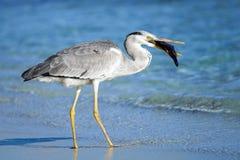 Pássaro da garça-real Fotos de Stock