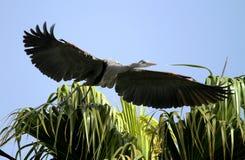 Pássaro da garça-real de grande azul Imagens de Stock Royalty Free