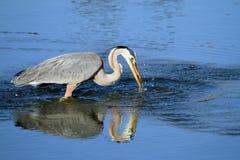 Pássaro da garça-real de grande azul Imagem de Stock Royalty Free