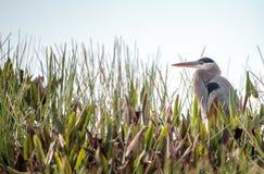 Pássaro da garça-real de grande azul, herodias do Ardea fotografia de stock