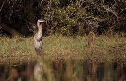 Pássaro da garça-real de grande azul, herodias do Ardea, no selvagem imagens de stock