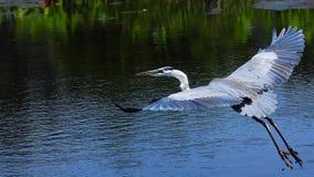 Pássaro da garça-real de grande azul no vôo imagem de stock