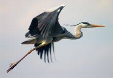 Pássaro da garça-real do vôo imagens de stock royalty free