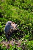 Pássaro da garça-real que olha seus bebês Imagem de Stock