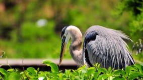 Pássaro da garça-real que olha seus pintainhos Fotos de Stock Royalty Free