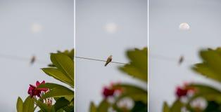 Pássaro da lua e lua no quadro Foto de Stock