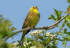 Pássaro da música do amarelo de Yellowhammer Fotos de Stock Royalty Free