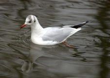 Pássaro da natação Imagens de Stock Royalty Free