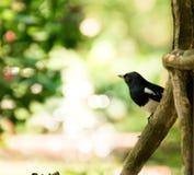 Pássaro da pega Imagens de Stock