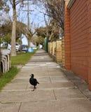 Pássaro da pega australiana imagem de stock