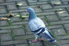 Pássaro da pomba Imagem de Stock
