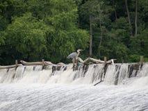 Pássaro da represa Fotografia de Stock Royalty Free