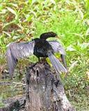 Pássaro da serpente em um Anhinga do coto de árvore imagem de stock