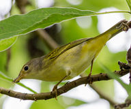 Pássaro da toutinegra amarela Foto de Stock Royalty Free