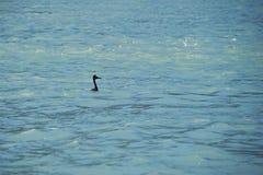 Pássaro das aves aquáticas Imagem de Stock