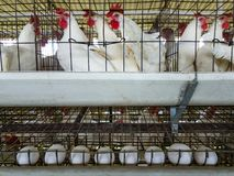 pássaro das aves domésticas fotos de stock