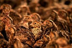 Pássaro das codorniz na exploração agrícola foto de stock