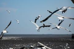 Pássaro das gaivotas no mar Bangpu Samutprakarn Tailândia Imagens de Stock