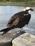 Pássaro de água Imagens de Stock Royalty Free
