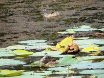 Pássaro de água Fotografia de Stock