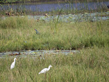 Pássaro de água Fotos de Stock