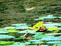 Pássaro de água Fotografia de Stock Royalty Free