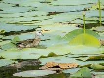 Pássaro de água Fotos de Stock Royalty Free