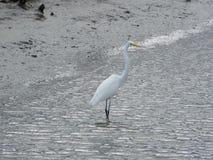 Pássaro de água branca lindo que alimenta em peixes imagem de stock royalty free