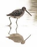 Pássaro de água com reflexão Foto de Stock Royalty Free