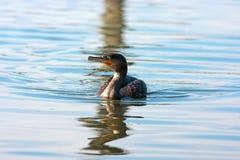 Pássaro de água Emilia Romagna Italy do cormorão Imagem de Stock