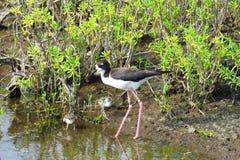 Pássaro de água havaiano com pintainhos, passeio à beira mar litoral do pernas de pau de Kealia, Maui, Havaí fotografia de stock royalty free