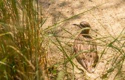 Pássaro de água marrom pequeno do borrelho que senta-se no ninho Foto de Stock Royalty Free
