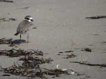 Pássaro de água que corre longe da maré entrante imagem de stock royalty free